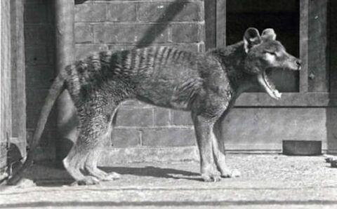 New DNA Test May Help Find a Living Tasmanian Tiger
