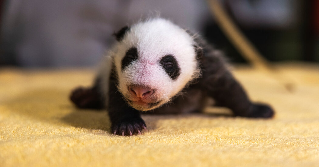 The National Zoo's Panda Cub Has a Name: Xiao Qi Ji