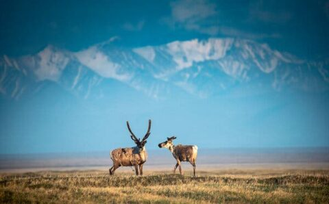 Why is Trump Still Pushing to Drill in Alaska's Arctic Refuge?