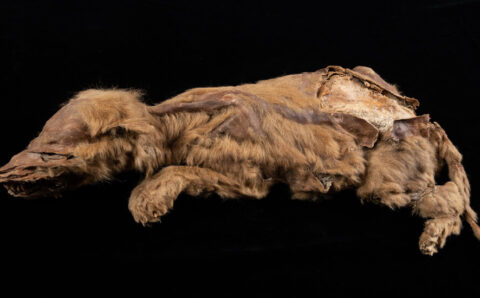 A Wolf Pup Mummy From the Ancient Arctic