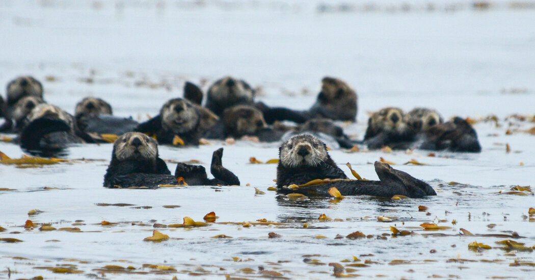 Archaeologists Could Help Bring Otters Back From the Dead