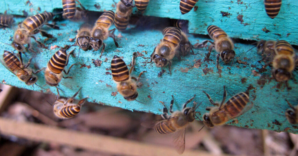 Menaced by Murder Hornets, Bees Decorate Their Hives With Poop