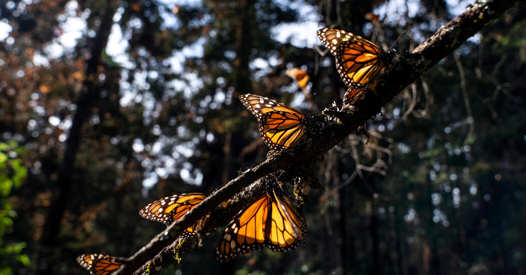 Monarch Butterflies Won't Be Listed as Endangered Despite Meeting Criteria