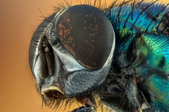 Mysterious New Fungus is Causing a Zombie Fly Apocalypse