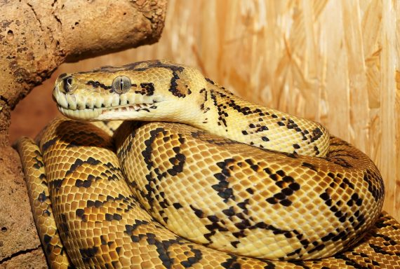 Oldest Python Fossil Dates Back 48 Million Years