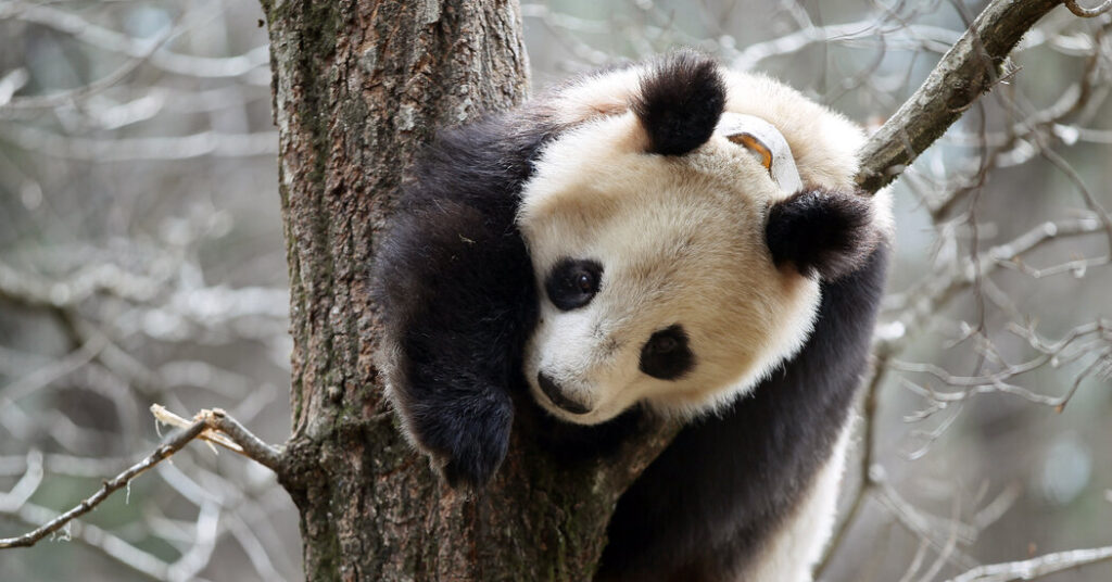 Why Are Pandas Covering Themselves With Horse Manure?