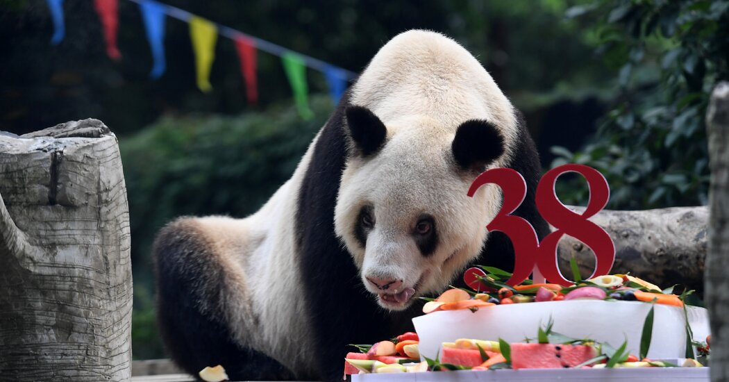 Xin Xing, Giant Panda With Progeny Around the Globe, Dies at 38
