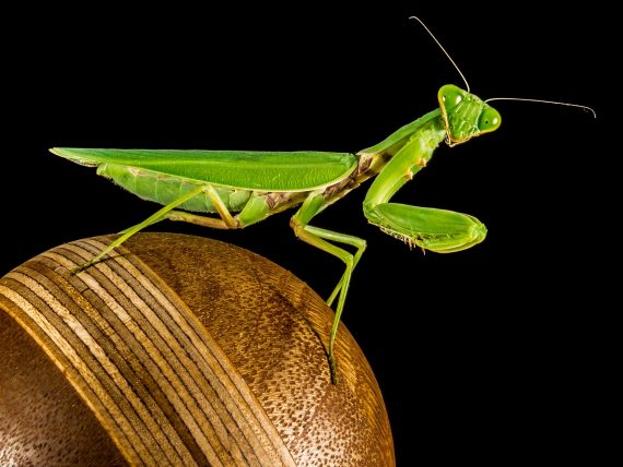 A Prehistoric Praying Mantis and a New Fairy-Like Cave Insect