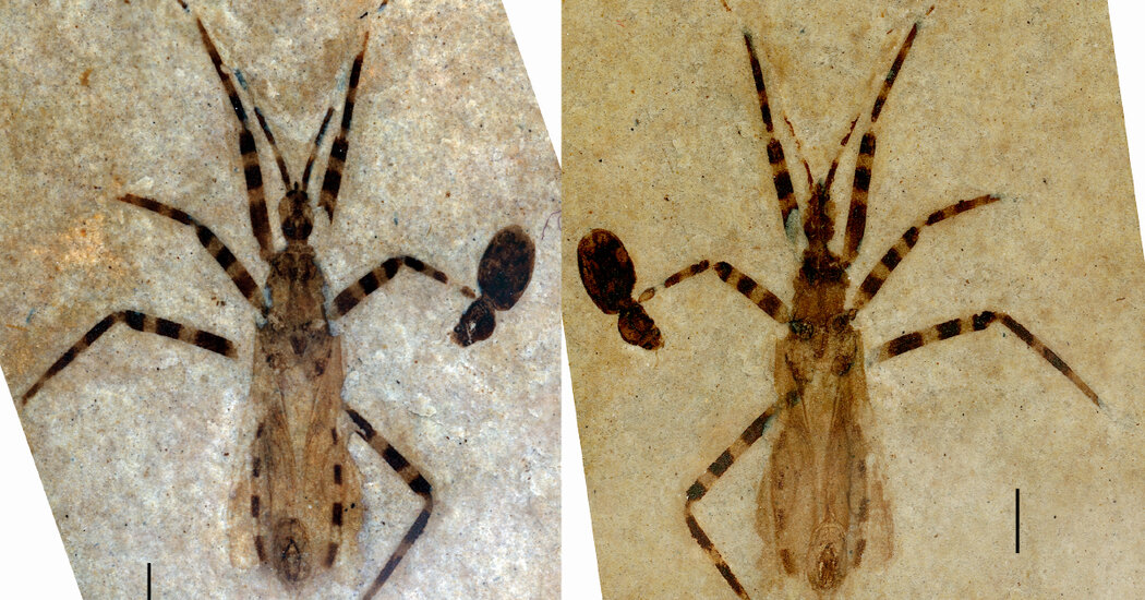 A Surprise in a 50 Million-Year-Old Assassin Bug Fossil: Its Genitals