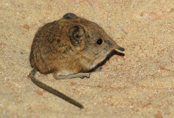Catalina Island Shrew Thought to Be Extinct Has Been Rediscovered