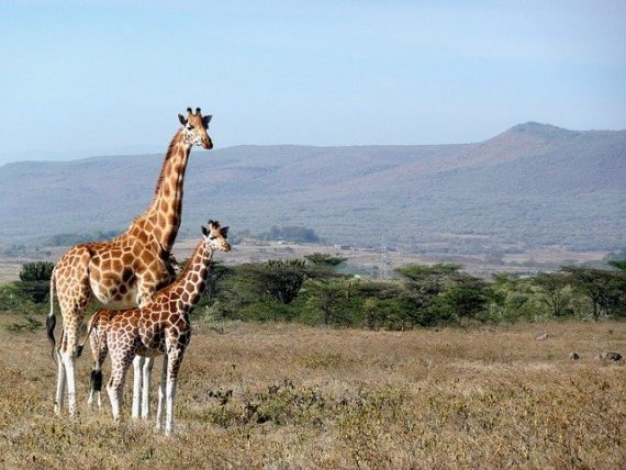Dwarf Giraffes Discovered in Namibia and Uganda — Nature's Oxymorons?