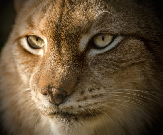 Move Over Alien Big Cats — Lynx May Be Coming Back to Britain