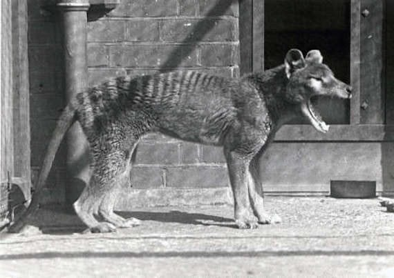 New Study Suggests Thylacine Didn't Go Extinct Until at Least 2000