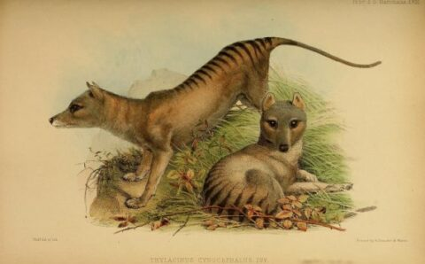 New Thylacine Sighting with Pups and DNA Professor Discusses De-Extinction