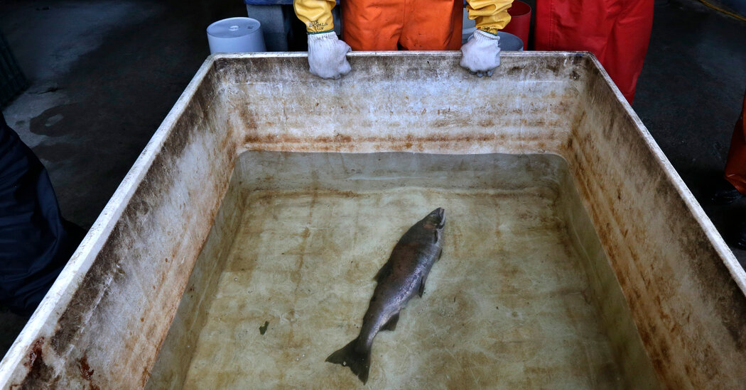 Northwest's Salmon Population May Be Running Out of Time