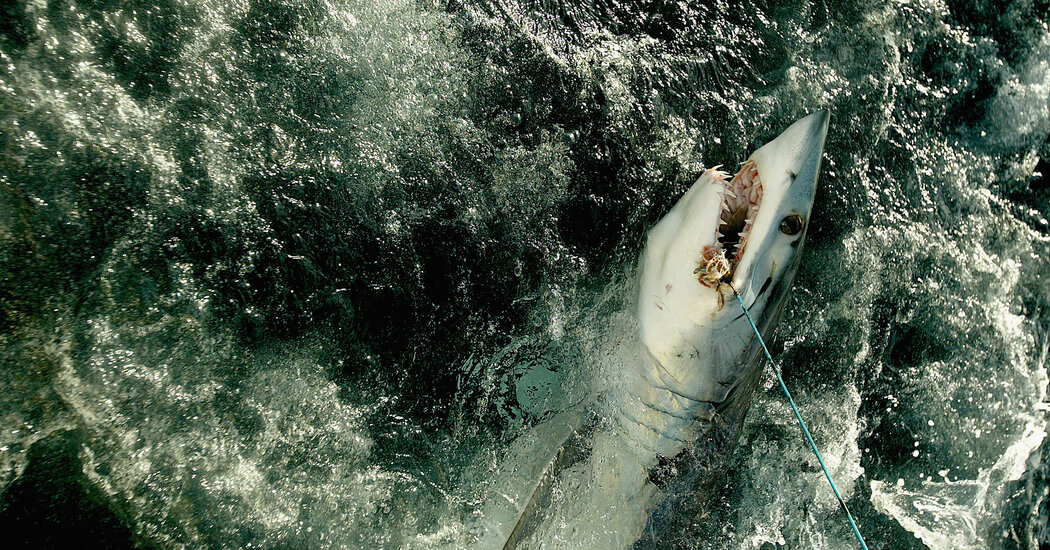 Shark Populations Are Crashing, With a 'Very Small Window' to Avert Disaster