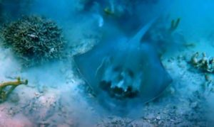 Stingray with creepy devil face on it's back found in Tonga