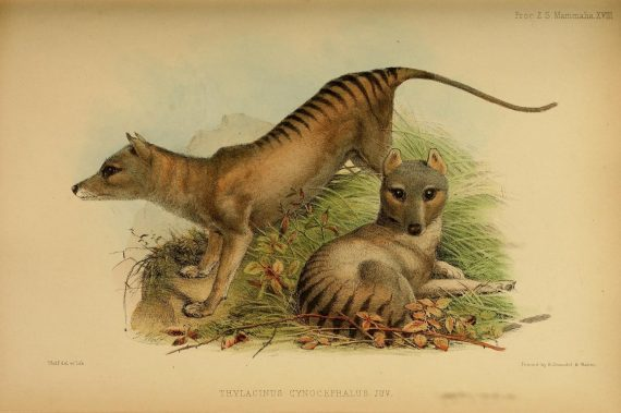 Tasmanian Tiger Pups Found to Be Very Similar to Wolf Pups