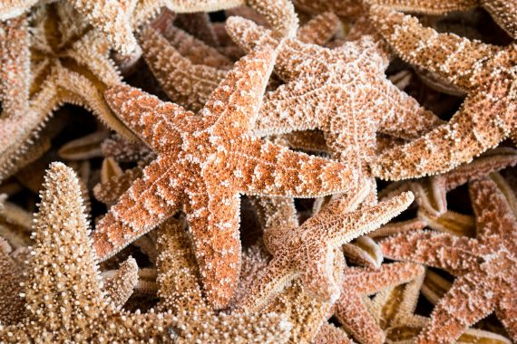 """The Discovery of a 480-Million-Year-Old """"Missing Link"""" in Starfish Evolution"""