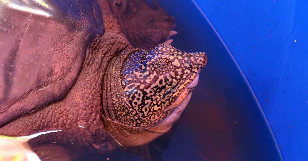 The World's Rarest Turtle Has a Shot at Escaping Extinction