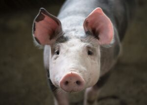 US company is ready to start transplanting pig organs to humans