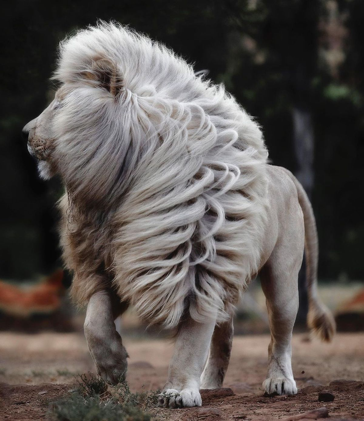 Wildlife Photographer Immortalizes Gorgeously Rare White Lions With the Most Luscious Manes – My Modern Met