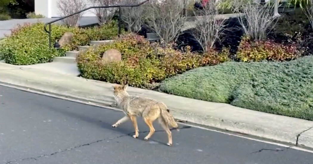 DNA Points to Single Coyote in Series of Attacks in California