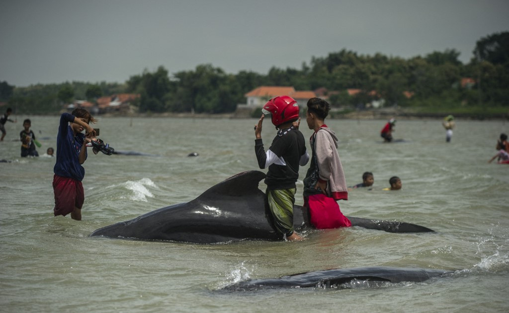 Dozens of pilot whales die in Indonesia's Madura Island