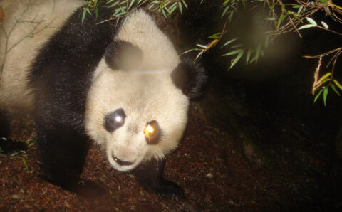 For Shielding Endangered Neighbors, Pandas Make Flimsy Umbrellas
