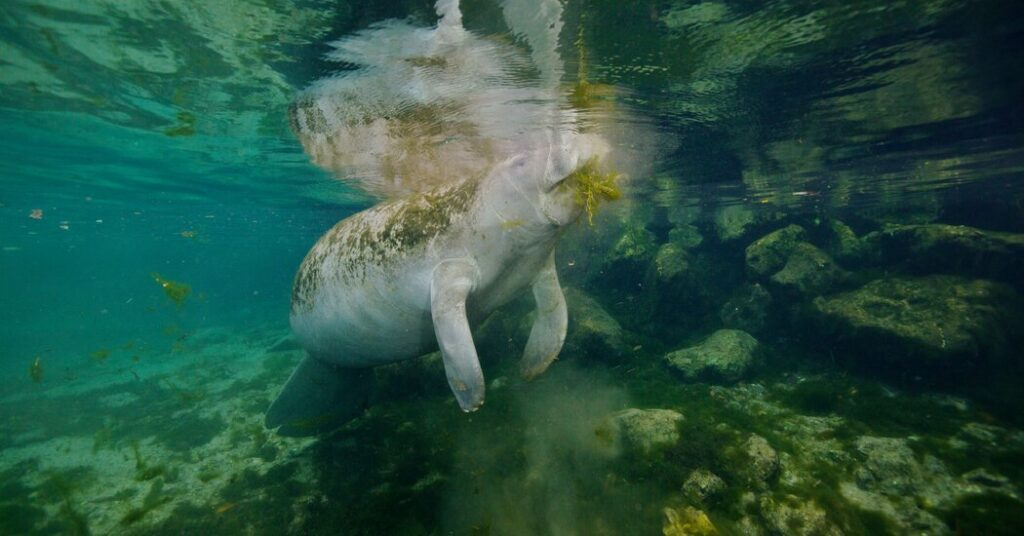 Manatees May Carry Half a Million Microscopic Hitchhikers