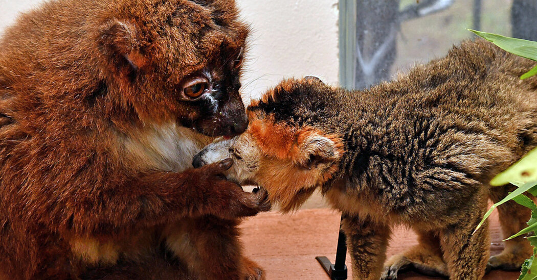 Mature Red-Bellied Lemur Seeks Soul Mate for Cuddles and Grooming