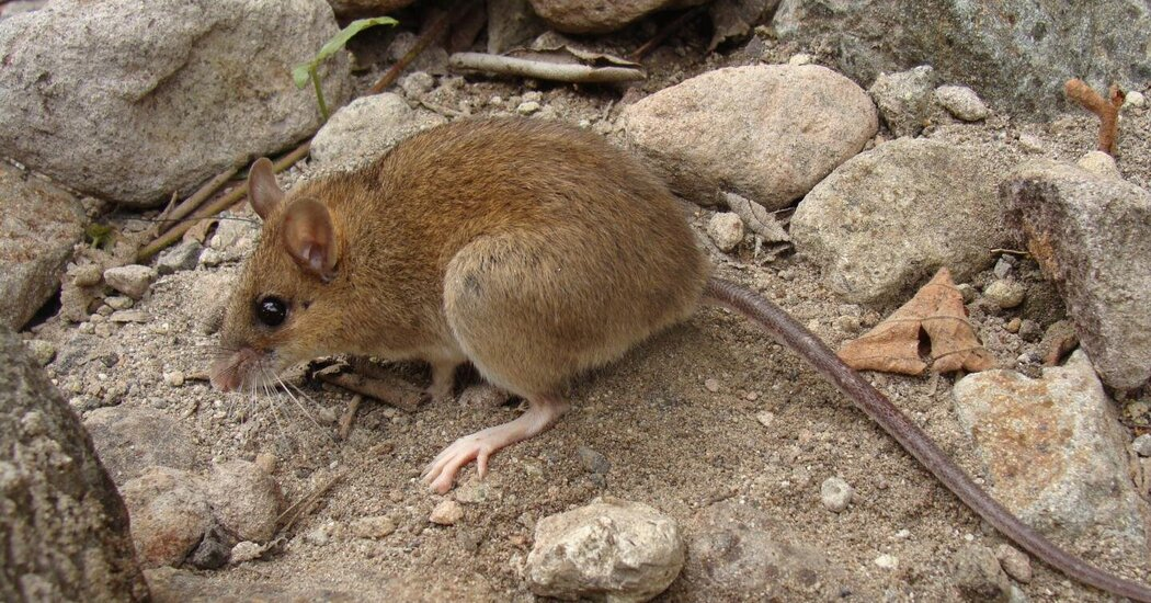 The Mouse That Survived a Volcanic Apocalypse