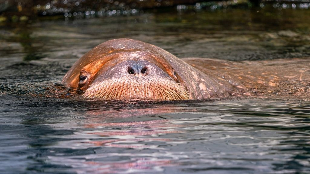 Arctic Walrus Takes A Nap On An Iceberg, Wakes Up In Ireland – Live Science