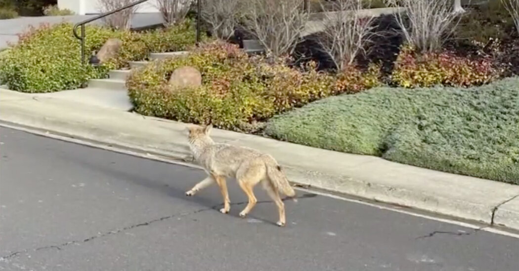 Coyote That Attacked Five in Bay Area Is Finally Caught