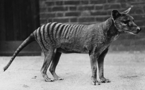 Tasmanian Tigers Are Extinct. Why Do People Keep Seeing Them?