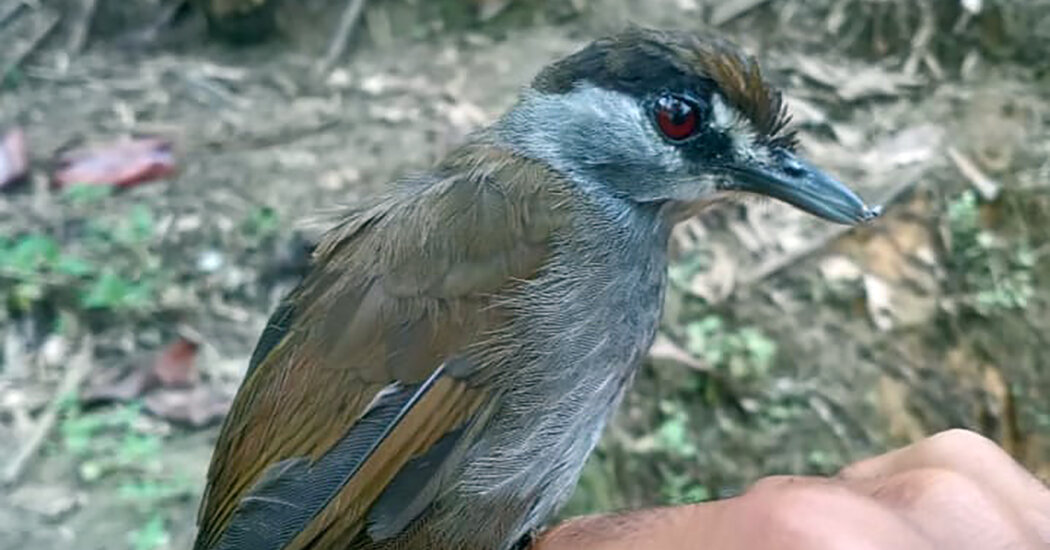 This Bird Wasn't Seen for 170 Years. Then It Appeared in an Indonesian Forest.