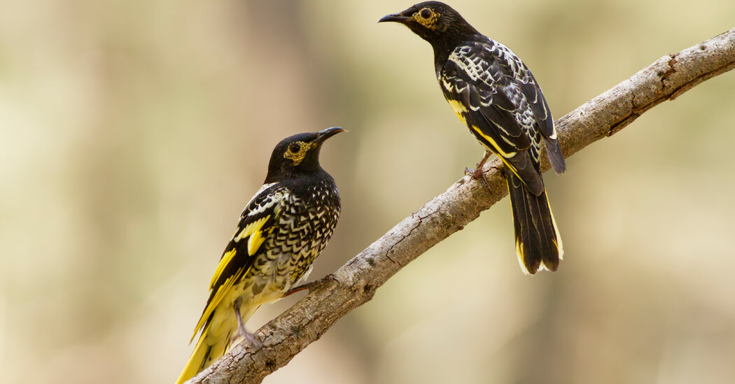 This Endangered Bird Lost Its Song in Australia