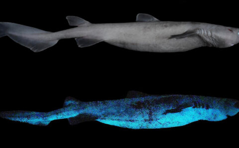 This Shark Is the Ocean's Biggest Glowing Vertebrate