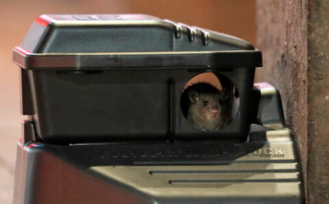 Virus Variants Can Infect Mice, Scientists Report