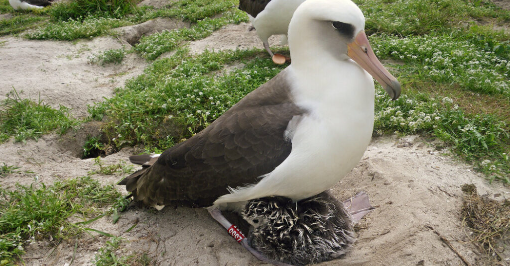Wisdom, the World's Oldest Known Wild Bird, Has Another Chick
