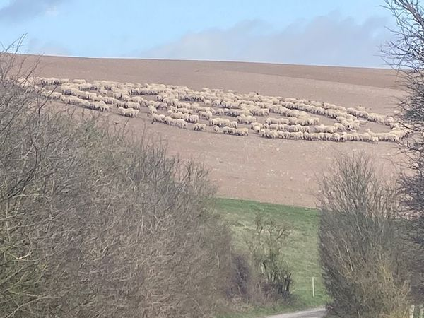Hundreds of Sheep Assemble in Mysterious 'Flock Circle' in UK Field – Times Now News