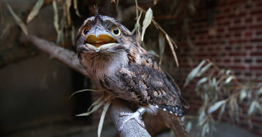 Meet the Frogmouth, Instagram's Most Photogenic Bird