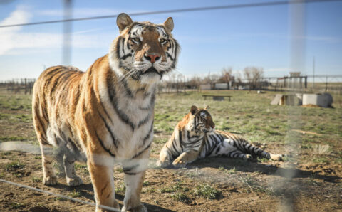 One Year After 'Tiger King,' Bill Aims to Protect Big Cats