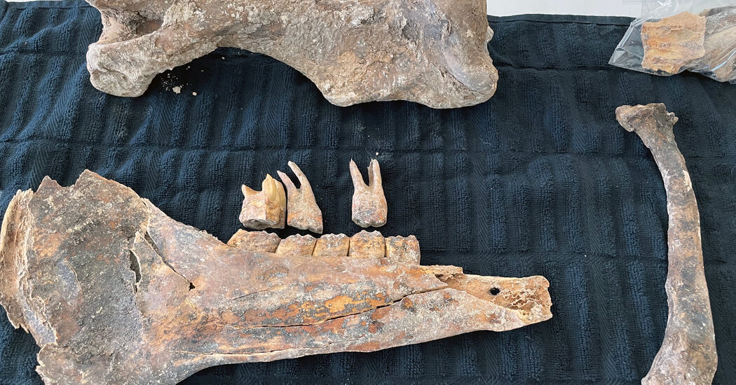 Horse Fossil, Possibly From the Ice Age, Is Found in Las Vegas Backyard