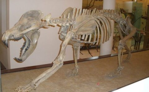 """New Species of Prehistoric """"Bear-Dog"""" Unearthed in Spain"""