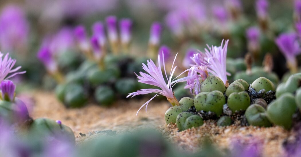 In South Africa, Poachers Now Traffic in Tiny Succulent Plants