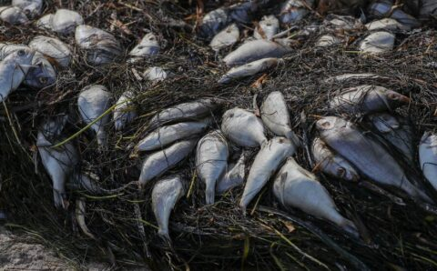 Red Tide Piles Up Dead Fish on Florida Beaches