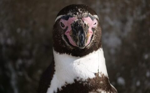 Are Gentoo Penguins Aliens? A Chemical in Their Guano May Prove It