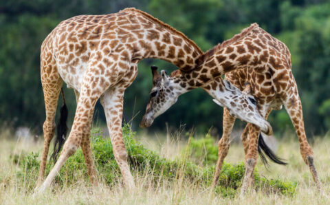 When Giraffes Fight, They Are Honorable