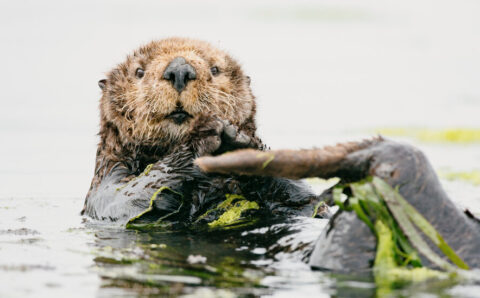 How Hungry Sea Otters Affect the Sex Lives of Sea Grass